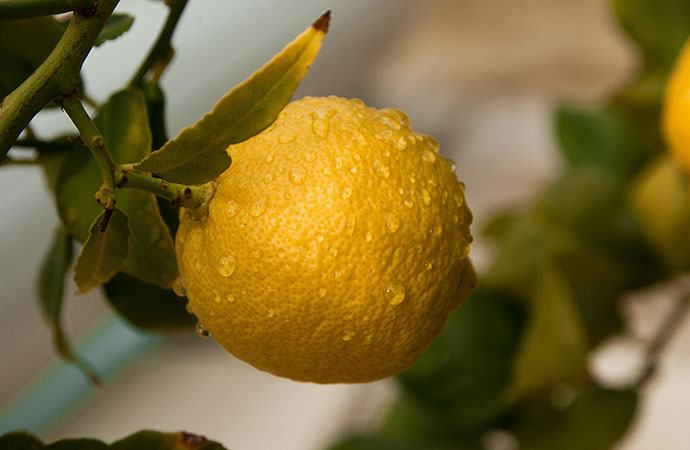 Lemon essential oils for snoring